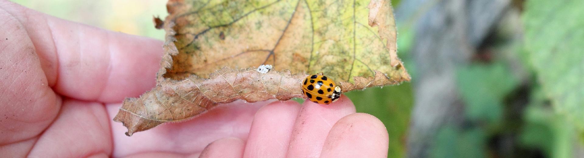 Kleiner Marienkäfer auf einem Blatt mit Hand